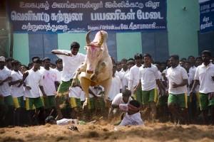 Bullfighting in India