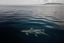 Spinner dolphins near Port blair