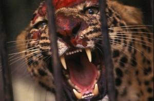 leopard15 b